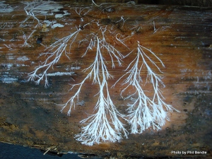 fungal_mycelia_-3
